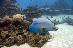 Grouper1 Royalty Free Stock Image