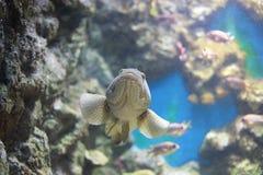 Groupers ή πέρκες θάλασσας Στοκ φωτογραφίες με δικαίωμα ελεύθερης χρήσης