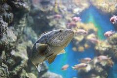 Groupers ή πέρκες θάλασσας Στοκ Εικόνα
