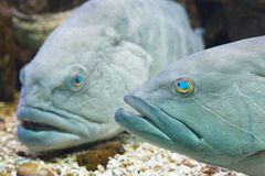 Groupers Royalty Free Stock Image
