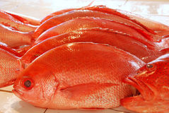 Groupers Stock Photography