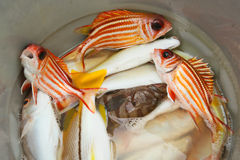 Groupers and red snappers Royalty Free Stock Image