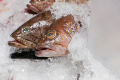 Groupers, Sea basses cover with ice in seafood market. Fresh Serranidae Groupers, Sea basses cover with ice in seafood market Royalty Free Stock Photography