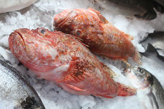 Groupers Royalty Free Stock Photography