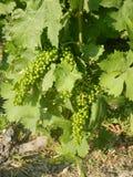 Groupes d'élevage de raisins de muscat Photographie stock libre de droits