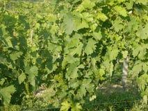 Groupes d'élevage de raisins de muscat Image stock