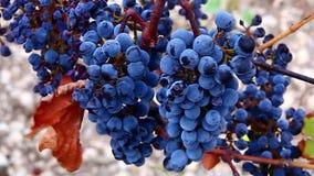 Groupes d'accrocher de raisins de vin rouge clips vidéos