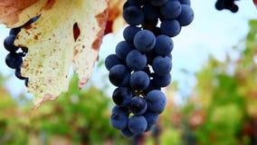 Groupes d'accrocher de raisins de vin rouge banque de vidéos