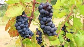 Groupes d'accrocher de raisins rouges clips vidéos