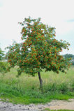 Groupes d'arbre de sorbe Photo stock