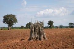 Groupes d'arbre jeune d'élevage de manioc Photographie stock