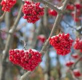 Groupes d'une sorbe rouge contre le ciel bleu-foncé Photos stock