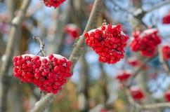 Groupes d'une sorbe rouge contre le ciel bleu-foncé Photographie stock