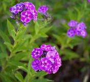 Groupes de fleurs pourpres et blanches dans un domaine Photographie stock libre de droits
