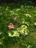Groupes de fleurs de ressort sur l'herbe Image libre de droits