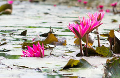 Groupes de floraison de lotus rose Photo stock