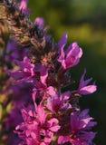 Groupes de floraison de petite fleur rose, détail images libres de droits