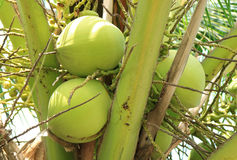 Groupes de jeunes fruits verts vibrants de noix de coco sur l'arbre de noix de coco Image libre de droits