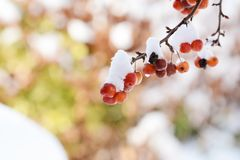 Groupes de pommes sauvages rouges sur la branche, couverts dans la neige Photographie stock