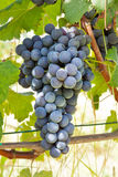 Groupes de raisin rouge. Image stock