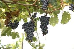 Groupes de raisins Photo libre de droits