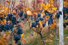 Groupes de raisins photo stock