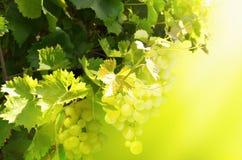 Groupes de raisins blancs accrochant sur un buisson image image stock