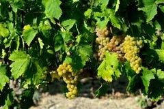 Groupes de raisins blancs avec des feuilles image libre de droits