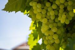 Groupes de raisins blancs contre la lumière du soleil Lumière naturelle dans le jardin Endroit pour votre texte photo stock