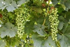 Groupes de raisins blancs non mûrs sur des vignes Image stock