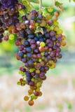 Groupes de raisins de cuve colorés Image libre de droits