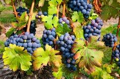Groupes de raisins de Cabernet Photos libres de droits