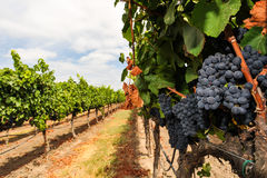 Groupes de raisins de cuve s'élevant dans le vignoble Image stock