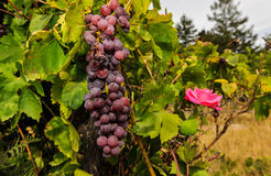 Groupes de raisins de cuve s'élevant dans le vignoble Photos stock