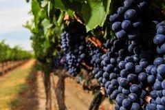 Groupes de raisins de cuve s'élevant dans le vignoble Photographie stock libre de droits