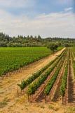 Groupes de raisins de cuve s'élevant dans le vignoble Images stock