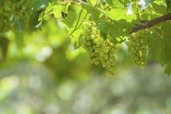 Groupes de raisins de cuve sur la vigne Image libre de droits