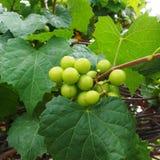 Groupes de raisins de cuve verts accrochant sur le vin Image stock