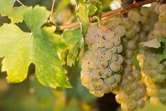 Groupes de raisins de cuve verts s'élevant dans le vignoble Fermez-vous vers le haut de la vue du raisin de cuve vert frais Group Photographie stock libre de droits