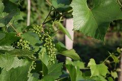 Groupes de raisins de maturation verts Photos libres de droits