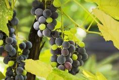 Groupes de raisins et de feuilles, illuminés par le soleil Photographie stock libre de droits
