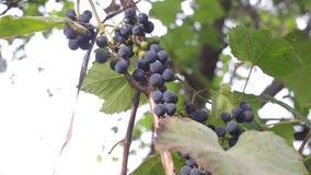 Groupes de raisins juteux accrochant dans le vignoble banque de vidéos