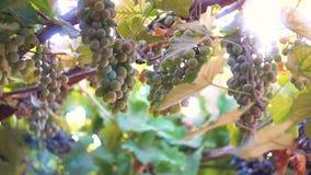 Groupes de raisins mûrs dans la perspective du soleil clips vidéos