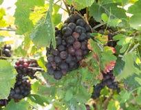 Groupes de raisins mûrs dans le vignoble Images stock