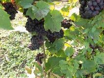 Groupes de raisins mûrs dans le vignoble Images libres de droits