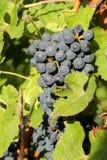 Groupes de raisins noirs Photographie stock libre de droits