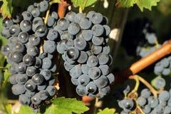 Groupes de raisins noirs Images libres de droits