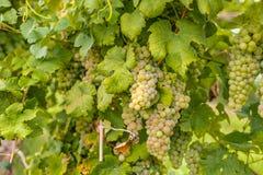 Groupes de raisins non mûrs Image libre de droits