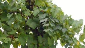 Groupes de raisins rouges accrochant dans le vignoble Rangées des raisins de pinot noir prêts à être sélectionné dans le vignoble banque de vidéos