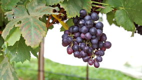 Groupes de raisins rouges accrochant dans le vignoble Rangées des raisins de pinot noir prêts à être sélectionné clips vidéos